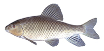 Image of Erimyzon tenuis (Sharpfin chubsucker)